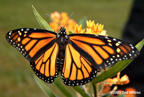 Spring Monarch Butterfly