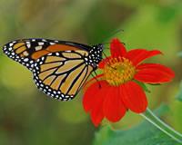 monarch nectaring on flower