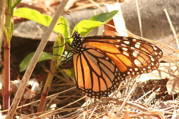 Monarch Butterfly Laying Eggs on Milkweed