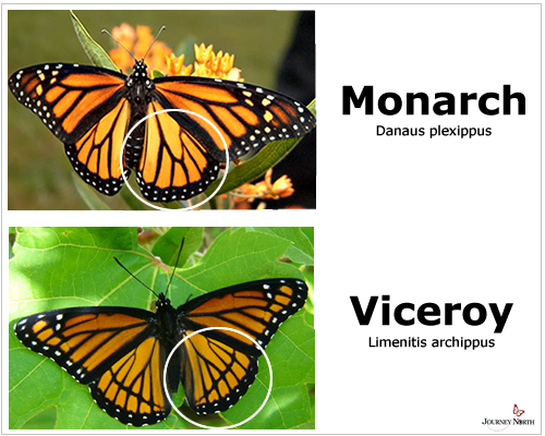 Monarch Butterfly and Viceroy Butterfly