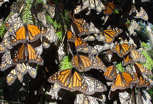 Monarch butterflies basking in sun at sanctuary in Mexico