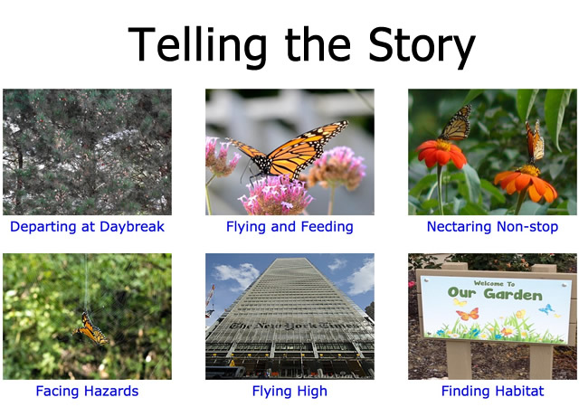 Citizen Scientist Telling Story of Monarch Migration