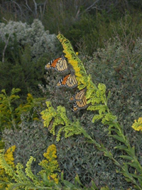 Monarchs on seaside goldenrod at dawn.