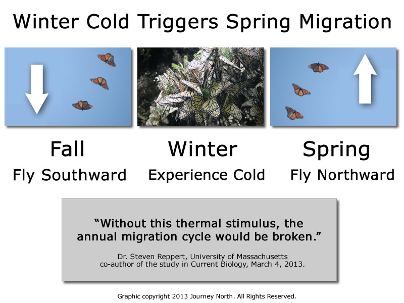 Cold triggers monarch butterfly's spring migration