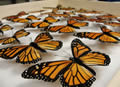 Monarch Butterfly Blog