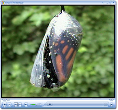 Monarch Butterfly Video Clips