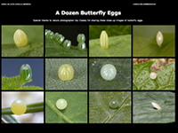 Photo Gallery: Butterfly Eggs