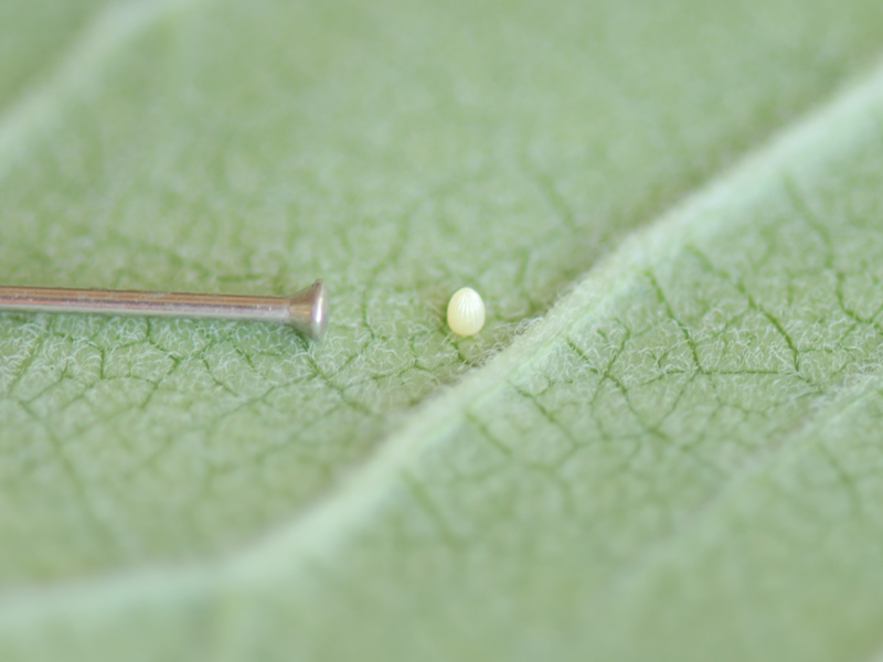 Milkweed with Monarch Butterfly Egg