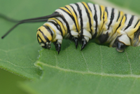 Monarch Rearing and Endangered Status