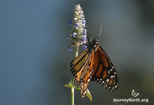 Monarch butterfly nectaring at sanctuary in Mexico