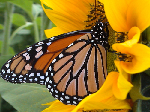 Monarch butterfly at sanctuary in Mexico in snow.