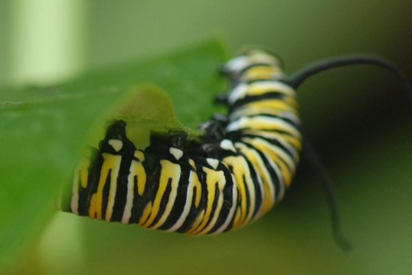 Monarch Larvae Legs