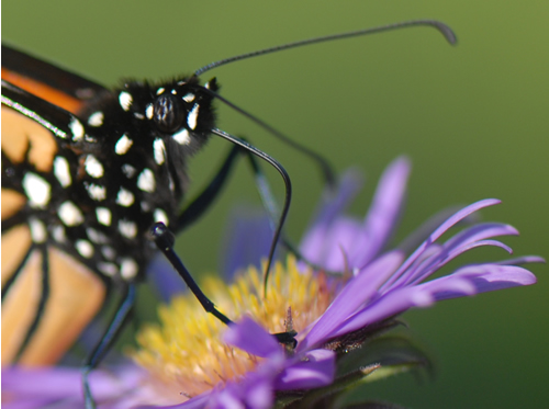 Monarch Butterfly nectaring on New England Aster