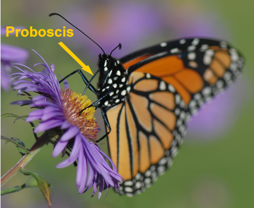 Monarch Butterfly with proboscis labeled.