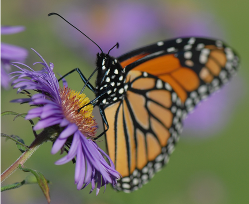 Monarch Butterfly with proboscis, not labeled.