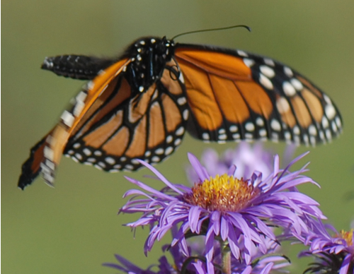 Monarch butterfly flying at butterfly garden.