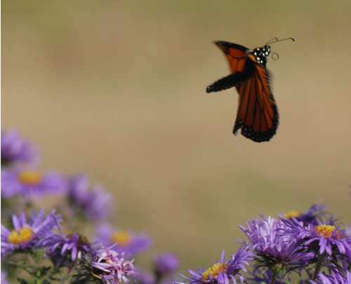 Monarch Butterfly in flight, with proboscis partly coiled.
