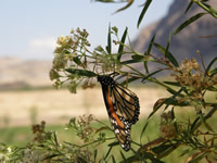 Monarch butterfly nectaring on bank of Rio Grande River.