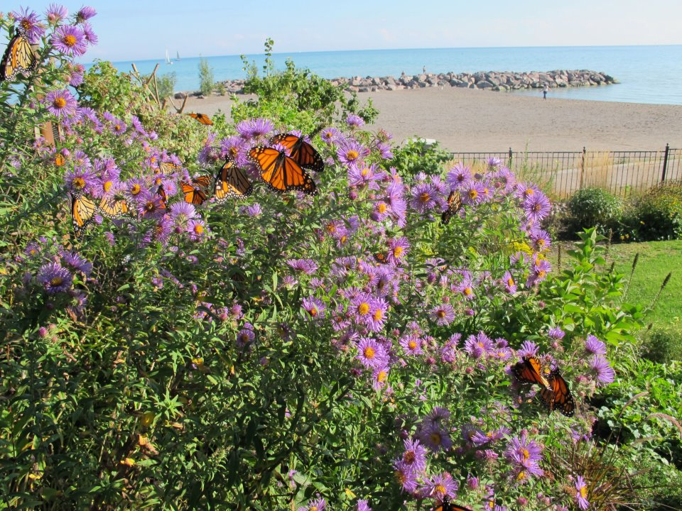 Monarchs nectaring on shore of Lake Ontaro
