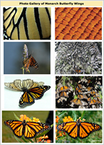Photo Gallery of Monarch Butterfly Wings