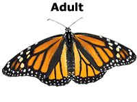 Monarch butterfly life cycle: adult