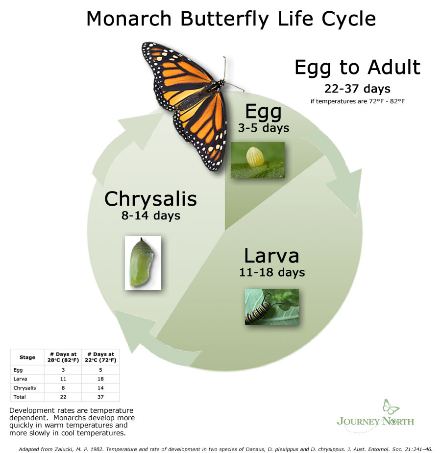Monarch Butterfly Development Time: Life Cycle Timing