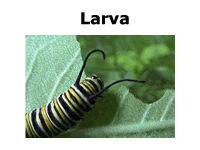 Monarch butterfly life cycle: larva