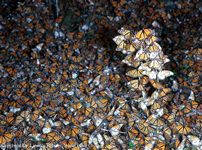 Monarch butterflies in sanctuary in Mexico