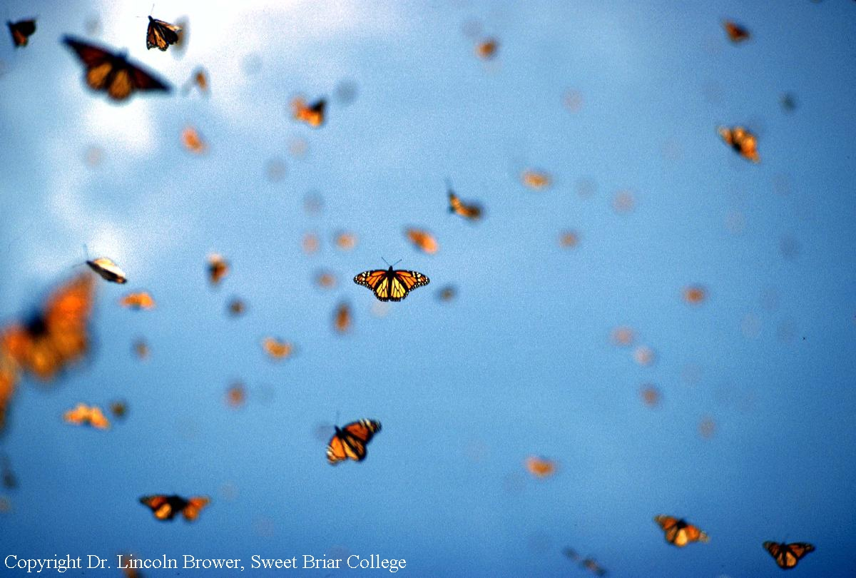 72cb33b15 Journey North: Monarch Butterfly Fall, 2004