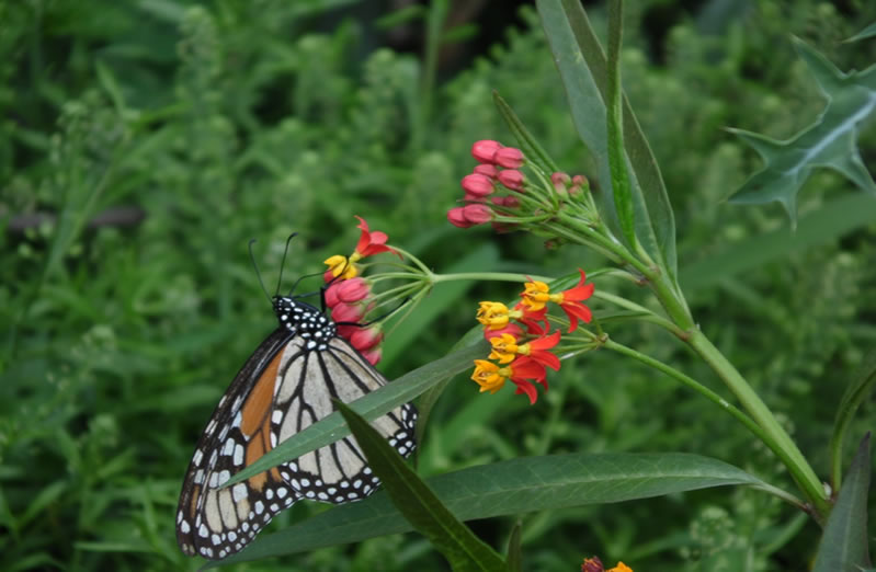 Monarch on Asclepias in Tama