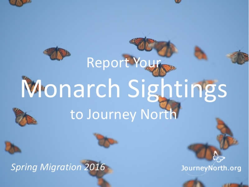 Spring Monarch Butterfly Migration: Report Your Sightings
