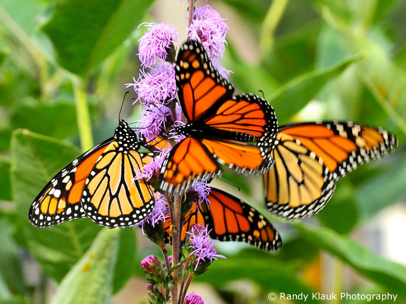 Monarch Butterfly Nectaring on Liatris