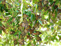 Monarch butterflies feeding in pecan trees in Texas
