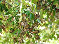 Monarch butterflies feeding in pecan trees in Texas