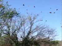 Roosting Monarchs in Coahuila