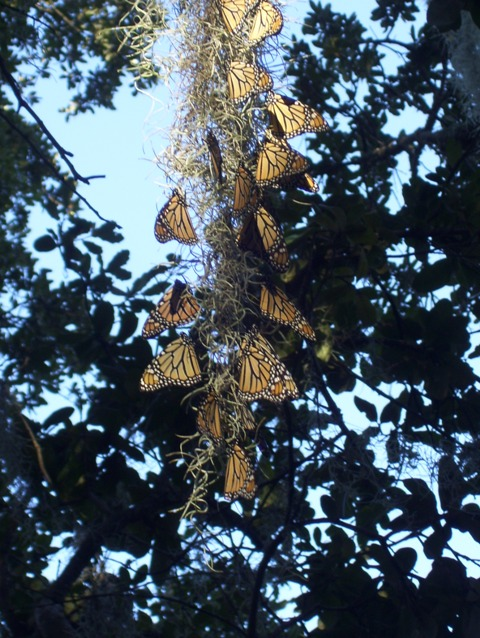 Monarch butterflies roosting in Spanish Moss during fall migration along Alabama Gulf coast