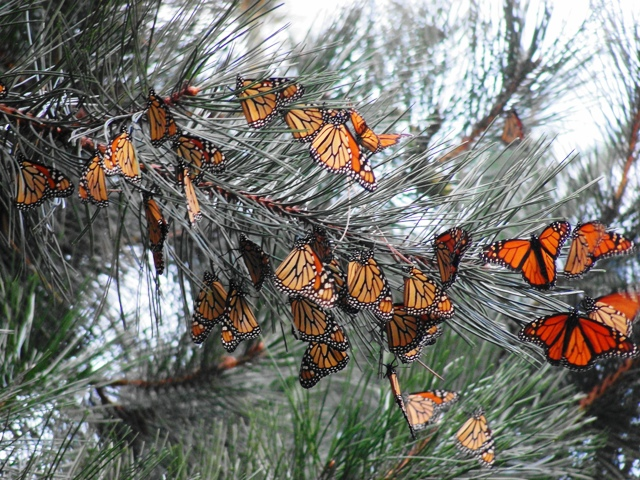 Monarch butterflies at overnight roost.