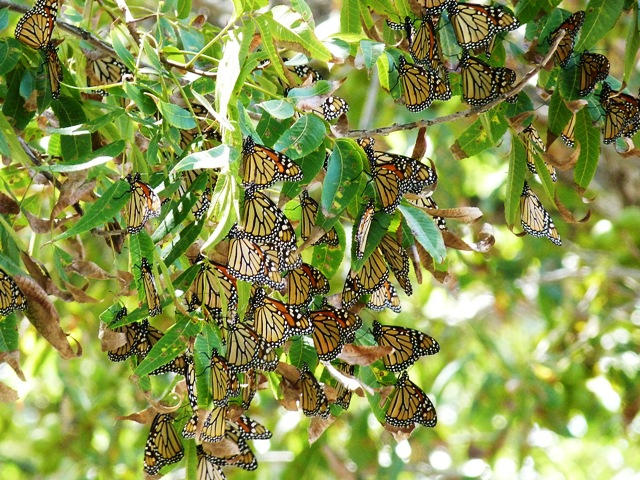 monarch butterfly roost