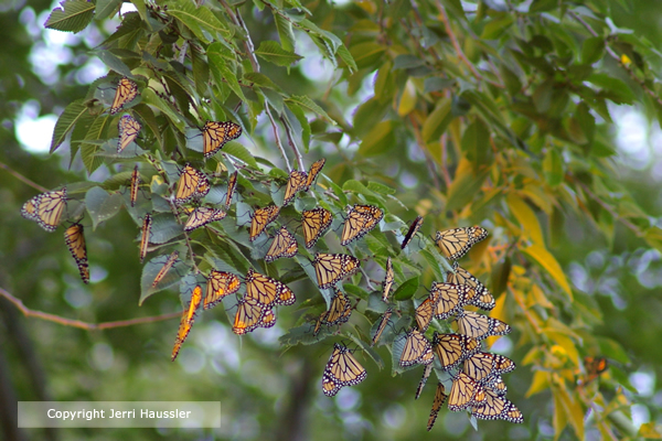 Monarch Butterflies at roost site in Mexico.