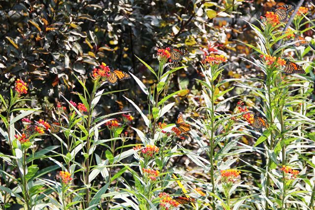 Monarch butterflies land in Oklahoma garden for nectar.