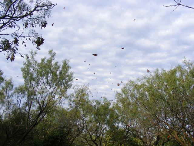 Monarch butterflies coming to roost during fall migration in Colorado City, Texas