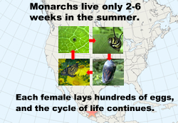 Monarchs born in the fall migrate to Mexico