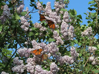 Monarch Butterfly Ecology
