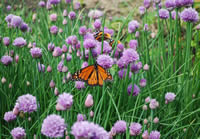 Monarch butterfly nectaring on chives in Manitoba