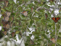 Monarch butterfly roost in Eagle Pass, Texas