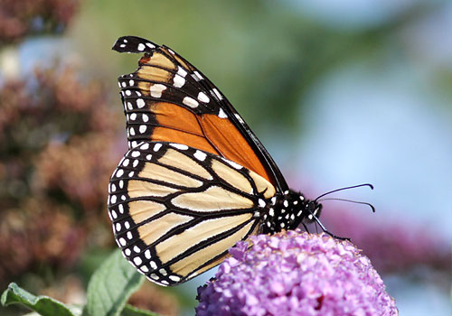 Monarch Butterfly carried to England by Hurricane Issac