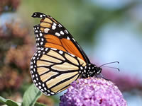 Monarch Butterfly Blown to England