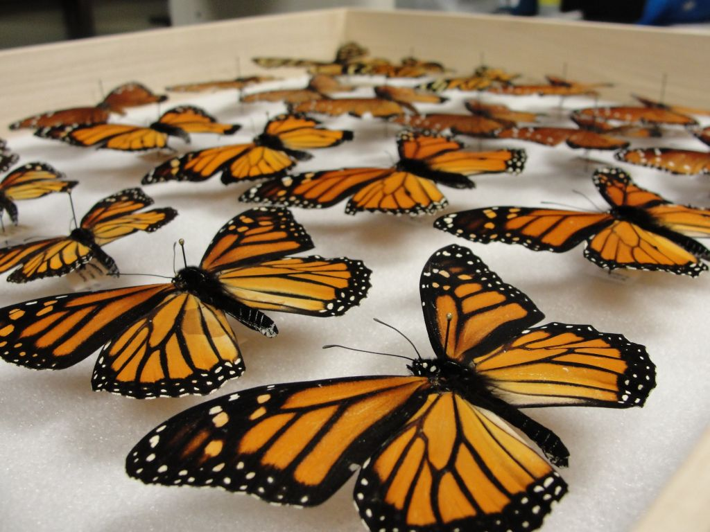 Monarch Butterfly Wings and Migration
