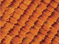 Magnified Monarch Butterfly Wing