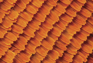 The scales on a monarch butterfly wing